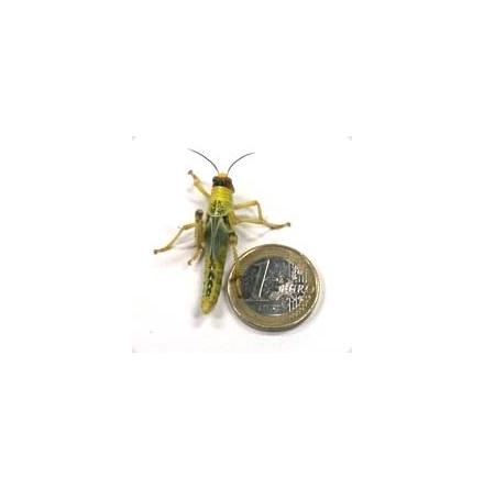 Vandringsgräshoppa medium