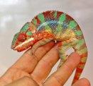 Panterkameleont