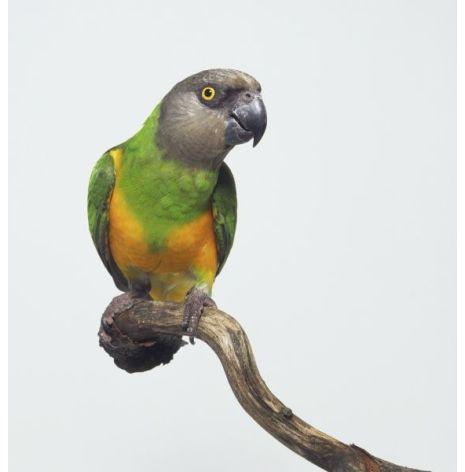 Morhuvad papegoja
