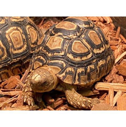 Leopardsköldpadda Geochelone pardalis