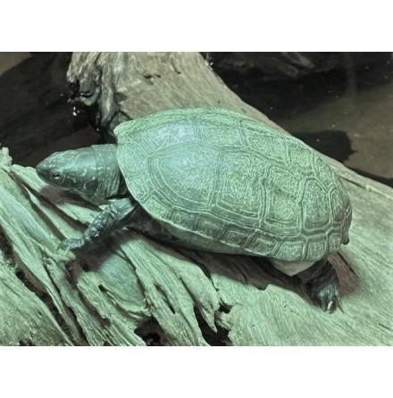 Reeves Kärrsköldpadda/Chinemys reevesii