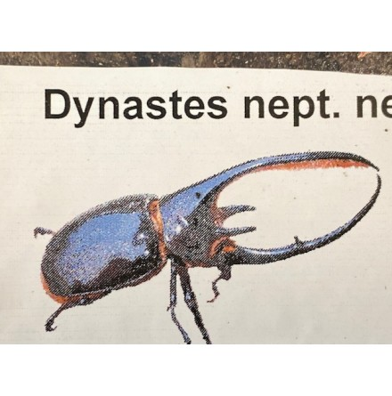 Dynastes neptunus